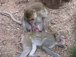 Wild Gully Macaques
